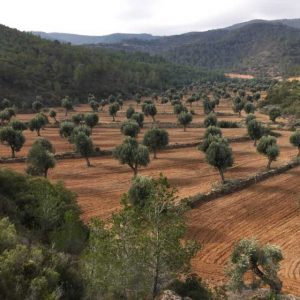 Clotxa entre olivos